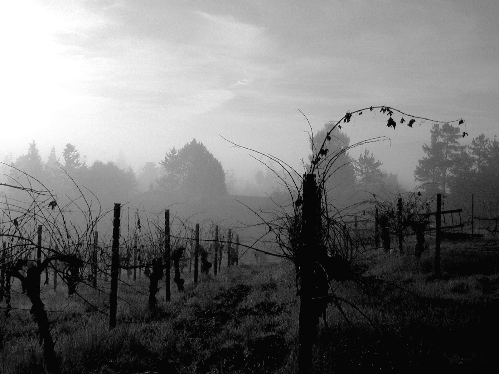 Image of fog lifting on the vines at Kathryn Kennedy Winery