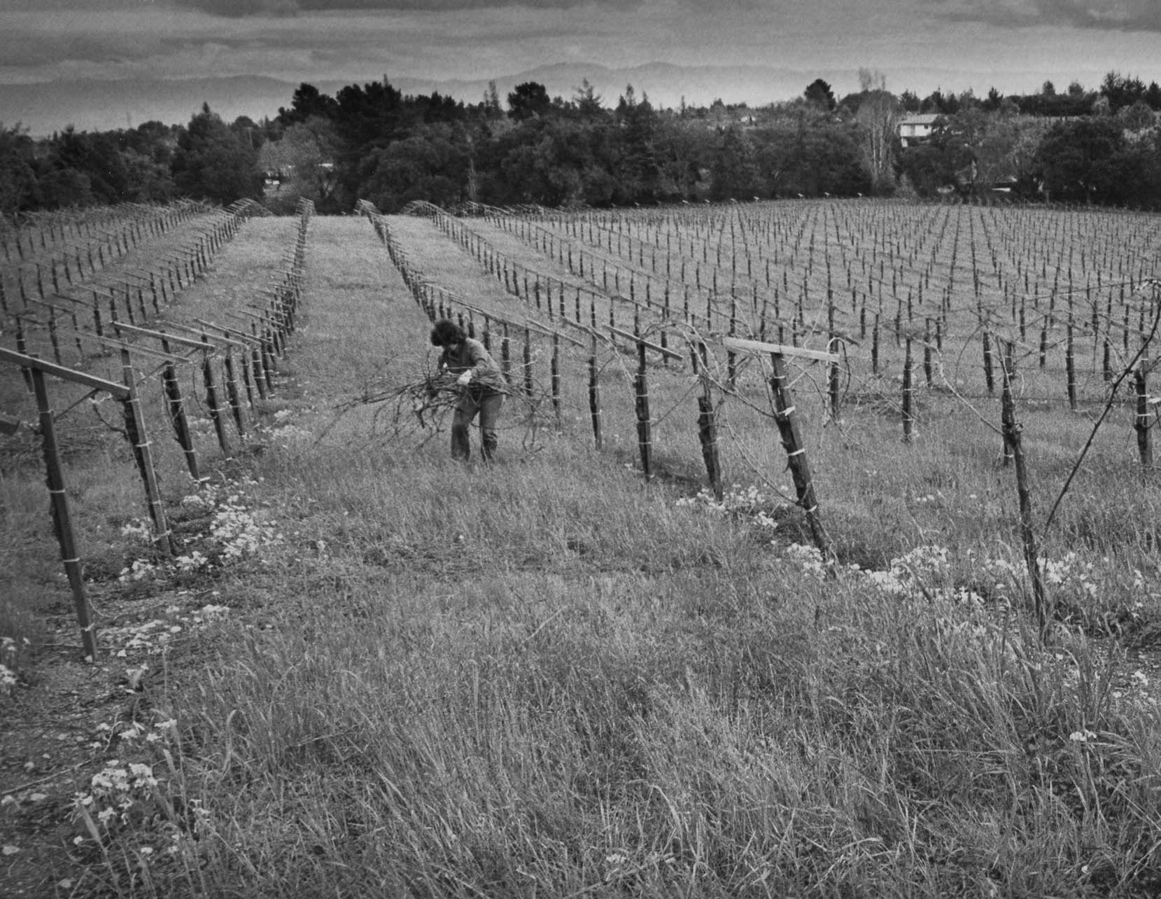 Image of Kathryn Kennedy tending to Vineyard